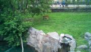 Tiger at the Zoo